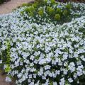 Семена цветов в интернет-магазине Украины