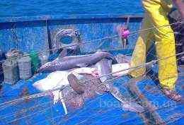продам черноморскую акулу свежеморженую: тушка - 18 грн./кг...