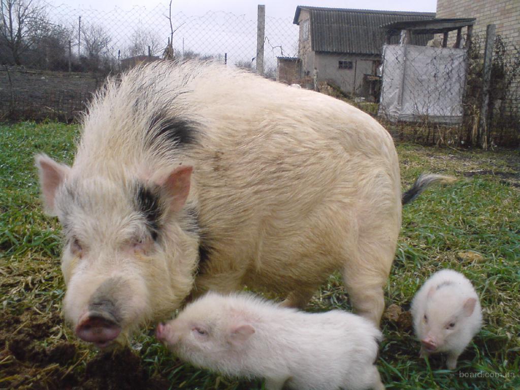 вьетнамскии свини: