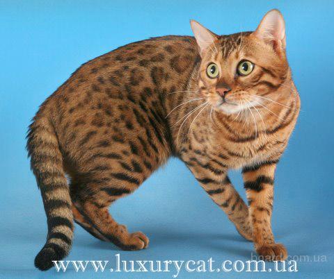 """Фотографии  """"кошка, бенгальская кошка."""