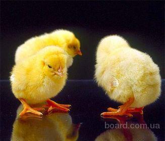 Номер объявления.  Цыплята от 45р Цыплята бройлерные от 60р.