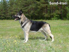 ...в родословных наших собак.  HD-A.  Бирюса из Новой Империи 2004г.