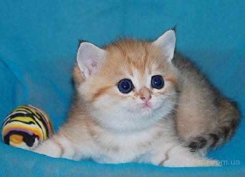 Британские котята серебристого и золотого тикированного окраса,шиншиллы.