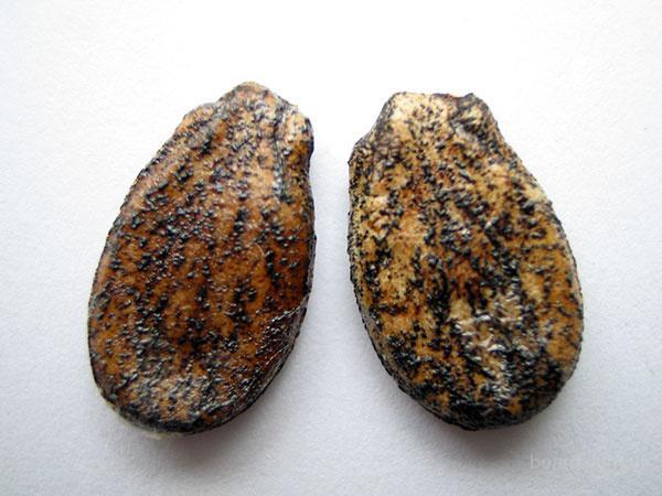 продам от производителя семена арбуза.