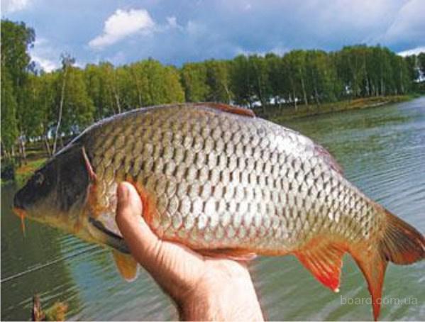 Продам оптом живую рыбу (толстолоб короп белый амур) производитель.