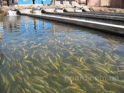 Для каждого рыбоводного хозяйства должна быть создана своя технологическая схема, учитывающая сильные и слабые...