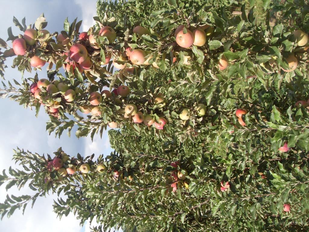 Саженцы плодовых деревьев продам