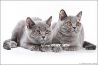 Элитные британские котята продаются