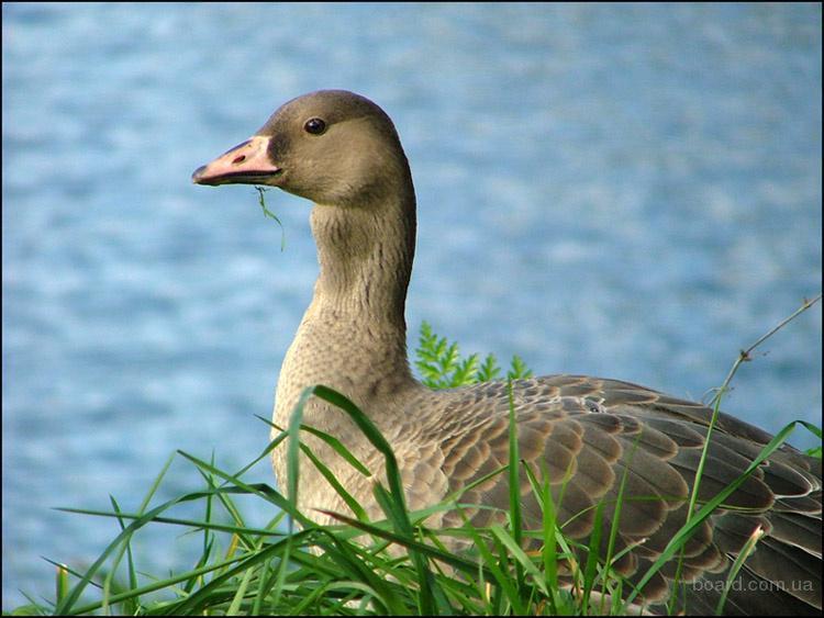 пути миграции перелетных птиц. смотрите и в клетки для птиц купить и пТИЦЫ СОВЫ ВИДЕО.