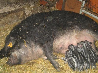 У свиней Мангал генетически заложена интенсивность
