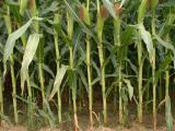 Посевной материал кукурузы Кадр 267 МВ