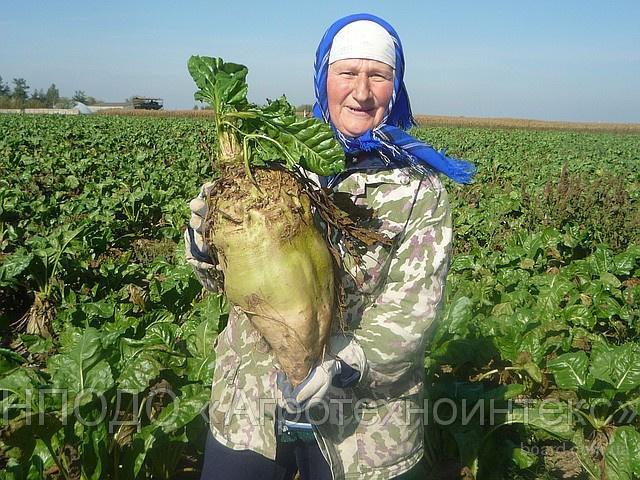 Корнеплоды кормовой свеклы с урожайностью 1720 центнеров с 1 га.