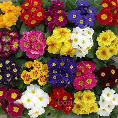 Цветок к 8 марта. Примула, Бегония, цена, купить,