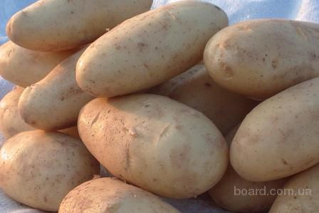 Местонахождение.  Контактное лицо. продам.  Картофель свежий.