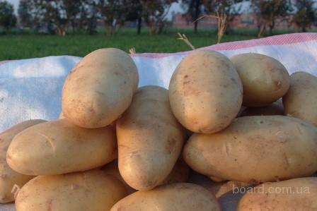 Картофель из египта.