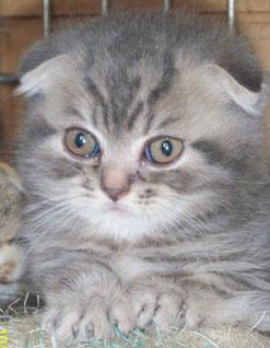 купить британского вислоухого котенка Вислоухого, британского котенка - купите в Москве