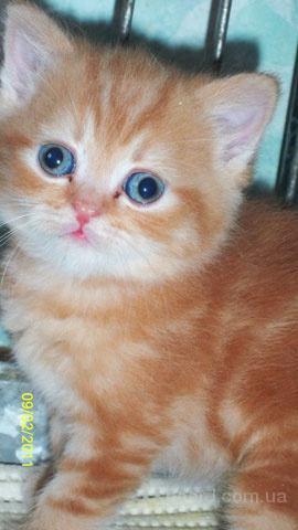 Вислоухий котенок, британский котенок - разные окрасы.