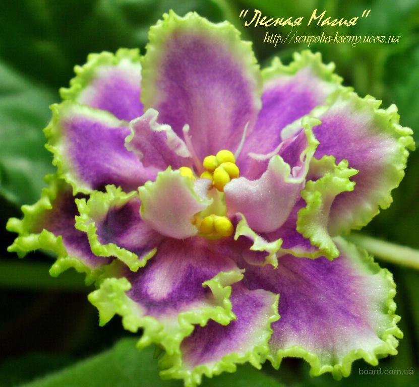 Орхидеи цветы вампиры