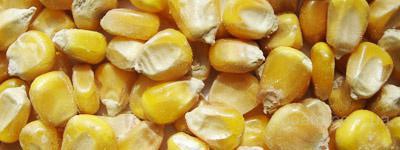 куплю : купим срочно кукурузу на экспорт в любых больших.