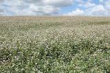 семена гречихи Украинка