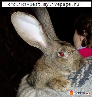 Разводим кроликов породы Фландр ( гигантский кроли