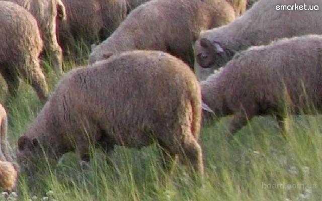 Продажа : Продам овец , ягнят , баранов , дойных овец , овец с ягнятами.