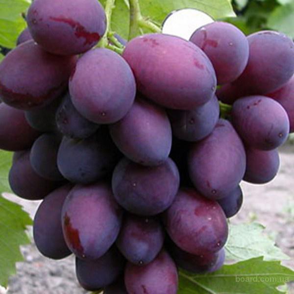 продам : Саженцы винограда Болгария уст.  (V - 45 - 23) Ранн.