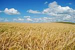продам семена озимых ячмень,пшеница,рапса