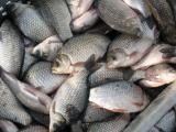 Живая, охлажденная рыба, раки. Закупка по Украине!