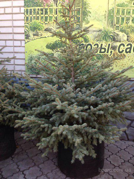 Сосны, елки натуральные