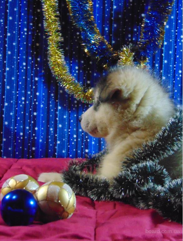 Щенки аляскинского маламута - пушистое чудо к Новому году и друг на долгие годы!