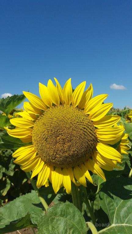 Семена гибридов подсолнечника на посев от оригинатора и производителя.