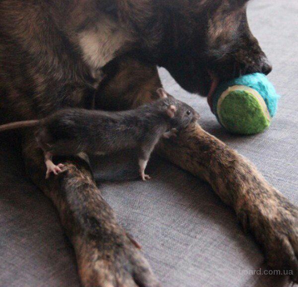Добрая ручная крыса. Киев
