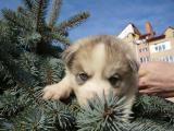 Продаж цуценят Сибірські Хаскі з племінного розплідника