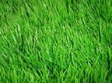 60грн\кг. Семена газонных трав купить дешево в Украине