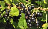 Черная смородина урожай 2017 года